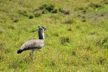 Kori bustard, Masai Mara National Reserve, Kenya