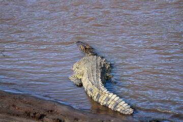 Nile crocodile, Masai Mara National Reserve, kenya