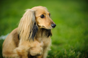 Longhaired Miniature Dachshund dog outdoor portrait sitting in grass