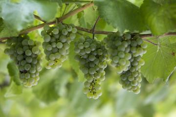 Uvas verdes brancas, fruta da época.
