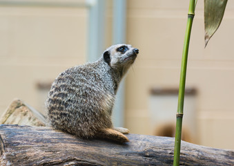 Slender Tailed Meerkat Relaxing on Log