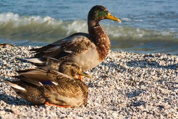 Husband and wife of mallard ducks