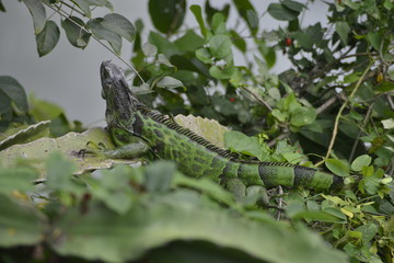 iguana tilcampo