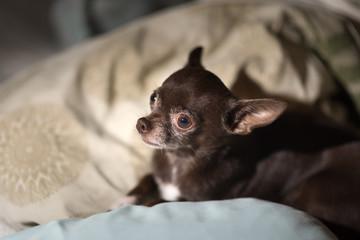cute chiwawa dog on pillows