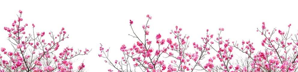 Plum Blossom in early spring. Located in Plum Blossom Hill, Nanjing, Jiangsu, China.