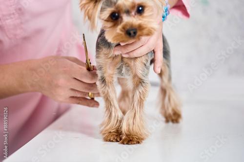 Yorkshire Terrier On Grooming Stockfotos Und Lizenzfreie Bilder Auf