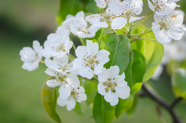 white flowers of pear fruit tree