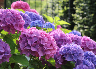 Beautiful blue and pink Hydrangea macrophylla flower heads in the evening sunlight.