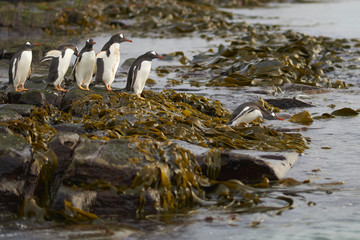Gentoo Penguins (Pygoscelis papua) heading to sea early in the morning on a rocky kelp strewn beach on Bleaker Island in the Falkland Islands.