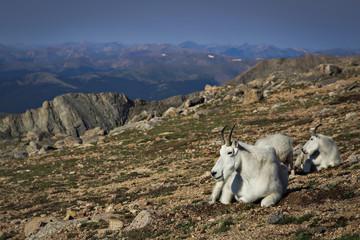 Mt. Evans Mountain Goats
