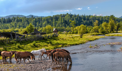 herd of horses at the watering