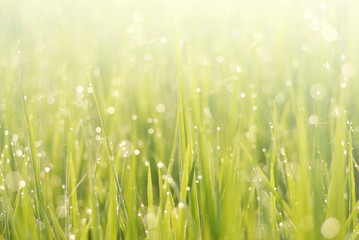 close up of morning dew on rice field