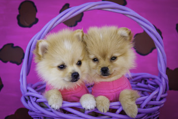 Two Pomeranian Puppies Wearing Hot Pink Shirts in a Purple Basket in Front of a Pink Leopard Print Background