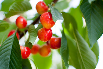 ripe sweet cherry 3
