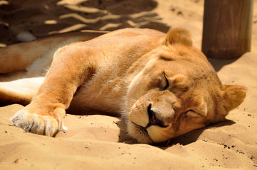 Lioness having a Nap in the Sand