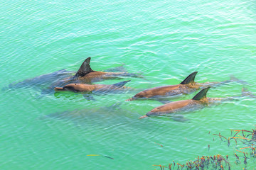 A group of dolphins swimming in the clear waters of Monkey Mia, a marine reserve near Denham, Shark Bay, on coral coast in WA. Monkey Mia is the only place in Australia visited daily by dolphins.