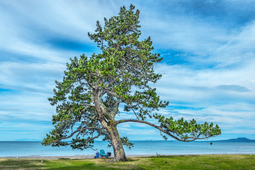 Amazing pine tree on beach with Rangitoto Island background in Browns Bay, Auckland