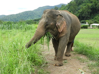 Elephant from Animal Sanctuary in Chiang Mai Thailand