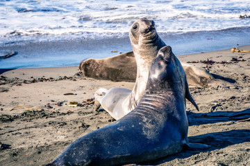 Playful Sea Lions along the Pacific Coast Highway in California