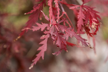 Japanese Maple Leaves Close Up 1