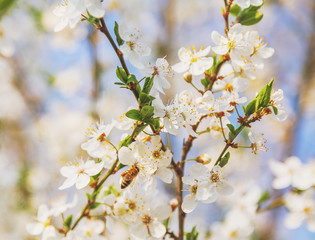 Honey bee on Cherry Blossom in spring with Soft focus, Sakura season- Spring abstract scenes.