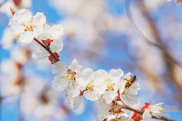 Sakura Flower or Cherry Blossom With Honey bee flying.
