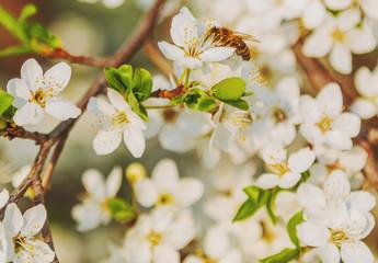 Honey bee flying on Cherry Blossom in spring with Soft focus, Sakura season