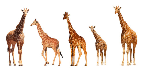 Wall Murals Giraffe Reticulated Giraffe family, mothers and young, isolated on white background