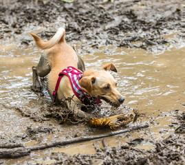 A mutt having fun in a mud puddle