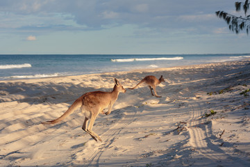 Photo sur Plexiglas Kangaroo Kangaroos on the beach