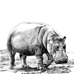 the Hippo is on the sandy shore of the sketch vector graphics monochrome drawing