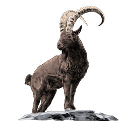 mountain goat standing on rocks and looking in the direction of sketch vector graphics color picture