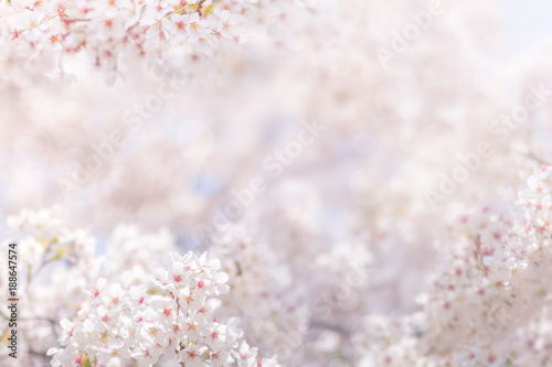 Wall mural Cherry blossom in spring, full bloom flowers for background or copy space for text