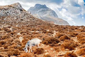 Goat at Crete island, Greece