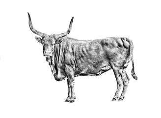 bull sketch isolated on white
