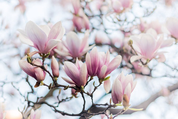 Wall Murals Magnolia Beautiful magnolia, bud in selective focus on the pink background Beautiful blossoming magnolia on blue sky background. Spring, floral greeting card