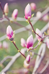Macro of purple magnolia