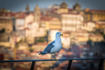 Mew in Vila Nova de Gaia city, Portugal. Porto city on background