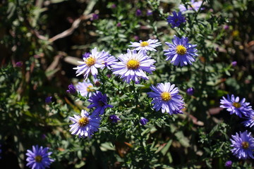 Close shot of pale violet flowers of Michaelmas daisies