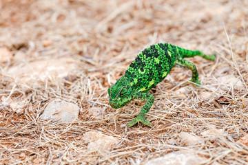 Green chameleon on a ground