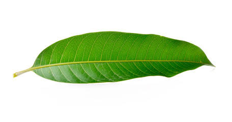 Mango leaves on a white background