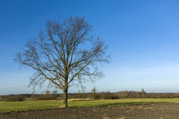 Single large tree without leaves on the field