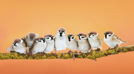 Fototapete - group of little funny birds sitting in a bright Sunny spring Park