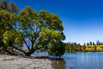 Tree, lake landscape, glenorchy queenstown, NZ