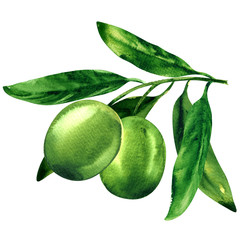 Green olives with leaves isolated, object for package design, watercolor illustration on white