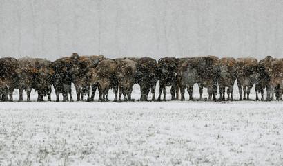 Cows are seen during snowfalls near Landquart