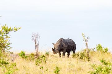 Lonely Rhinoceros grazing in the savannah of Maasai Mara Park in northern Kenya