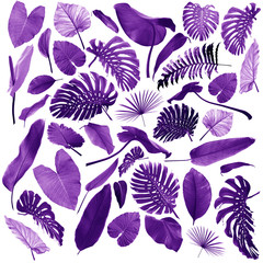 tropical jungle leaves in violet isolated on white can be used as background