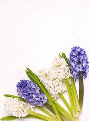 Beautiful Spring Flower Background Blue and White Hyacinths White Background Top View Spring Easter Holiday Card Vertical Copy Space