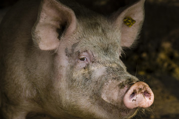 Mister pig/Full head portrait of a grown pig in a village farm stable having a strange gaze before Christmas.